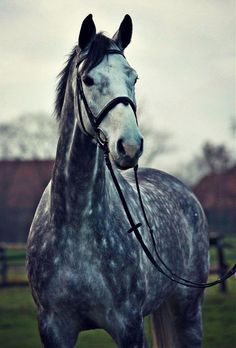 Even though bays are my fav....dappled gray hunters have a special place in my heart <3