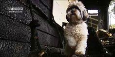 http://oddstuffmagazine.com/brave-dog-muggles-saved-family-from-house-fire.html