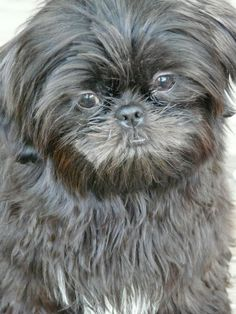 lhasa apso grooming / lhasa apso grooming _ lhasa apso grooming haircuts _ lhasa apso grooming teddy bears _ lhasa apso grooming faces _ lhasa apso grooming short _ lhasa apso grooming styles _ lhasa apso grooming tips Tosa Lhasa Apso, Lhasa Apso Preto, Shih Tzus, Shih Tzu Puppy, Yorkie, Cute Puppies, Cute Dogs, Dogs And Puppies, Doggies