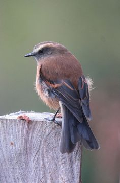 Brown-backed Chat-Tyrant (Ochthoeca fumicolor) by Félix Uribe