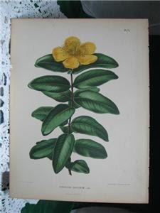 ANTIQUE PRINTS - 19th Century Rose of Sharon Lg Chromo Litho by PeggysAntiques, $49.99 #antiqueprints #peggysantiques #flowers