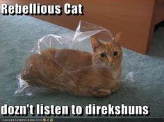 Rebellious Cat  dozn't listen to direkshuns