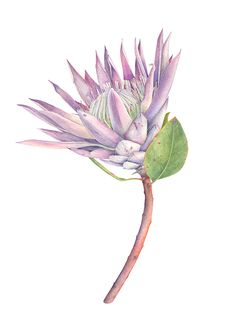 King Protea Flower Botanical Illustration with watercolors King Protea Flower B… - Modern Protea Art, Protea Flower, Watercolor Plants, Watercolor Paintings, Tattoo Watercolor, Watercolour, Botanical Flowers, Botanical Art, King Protea