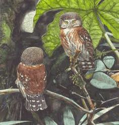 The Pernambuco pygmy owl (Glaucidium mooreorum) is a species of owl in the family Strigidae. This recently described species is endemic to Pernambuco in Brazil. It has been argued that it actually should be referred to as G. minutissimum (a name typically used for the East Brazilian pygmy owl), but this has not gained widespread recognition. This owl is classified as critically endangered by BirdLife International. It is assumed to have a tiny and declining population within an extremely…