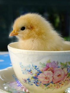 Easter chick in a tea cup. Farm Animals, Cute Animals, Chickens And Roosters, Easter Parade, Baby Chicks, Mellow Yellow, Beautiful Birds, Happy Easter, Pet Birds