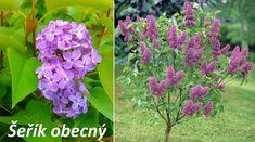 Kdo by neměl rád krásný voňavý šeřík obecný (latinsky Syringa vulgaris) s jeho fialovorůžovými voňavými květy obklopenými spokojenými včelami? Věděli jste, že tento keř umí vyrůst až do výšky 7 metrů? Umí kvést bíle, fialově, modře, levandulově, růžově, purpurově, či nachově. Proč se šeříku říká šeřík? Prý proto, že se nejvíce rozvoní právě když se šeří v době stmívání.... Coral Roses, Red Roses, Daffodils, Tulips, Syringa Vulgaris, Succulent Terrarium, Herb Garden, Orchids, Bloom