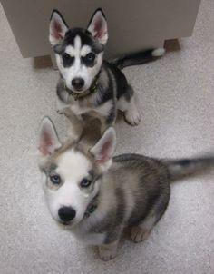 Jayda (Black/white) & Zelda (grey/white) are 12 week old Siberian Huskies