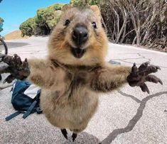 Cute Creatures, Beautiful Creatures, Curious Creatures, Cute Baby Animals, Funny Animals, Wild Animals, Cute Hug, Happy Paw, Quokka