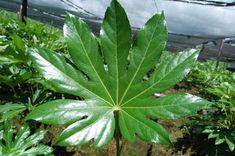 Guía de cuidados de la aralia - http://www.jardineriaon.com/guia-de-cuidados-de-la-aralia.html #plantas