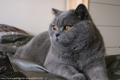 grey british shorthair - Google Search