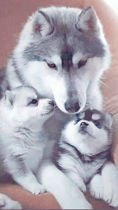 Cute Puppies, Cute Dogs, Wolf Pictures, Alaskan Malamute, Fauna, Cute Funny Animals, Animals Beautiful, Dog Lovers, Kittens