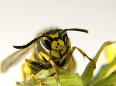 Wasp. Spanish- Avispa