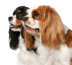 Dog Breeds: Cavalier King Charles Spaniel