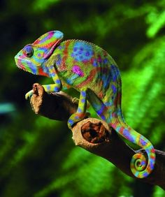 Magnificent color: Chameleon  looks like this glorious creature got lost in a box of crayons!!! what a charmingly colourful creature!!!