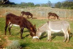 Courtesy: Eseltjiesrus Donkey Sanctuary, McGregor, Western Cape (South Africa).