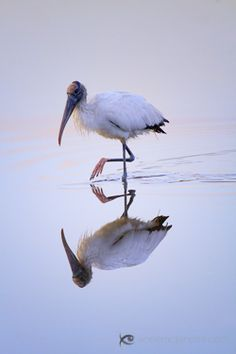 Woodstork.  These guys are in my backyard lake, and even come up to the door and peck on it, wanting bread!  I call them the Buddha birds.  Totally love them!