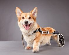 Wonderful Corgi in his Eddie's Wheels dog wheelchair Love My Dog, Pet Dogs, Dog Cat, Corgi Dog, Chihuahua Dogs, Weiner Dogs, Animals And Pets, Cute Animals, Disabled Dog