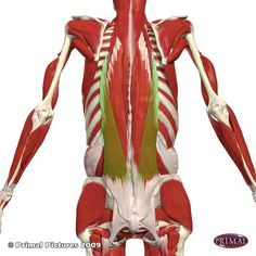 1000 images about meaty muscles on pinterest muscle scapula and