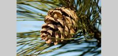 How To Make A Pine-cone Bird Feeder Without Using Peanut Butter
