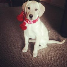 Adorable Young Four Month Old Yellow Lab