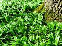 From wild garlic pesto to wild garlic kimchi, these easy to prepare, plant-based wild garlic recipes will have you purring with delight. Read more! Forest Plants, Forest Garden, Wild Garlic Pesto, Iron Deficiency Anemia, Garlic Uses, Plant Identification, Garlic Recipes, Spinach And Cheese, Fun Easy Recipes