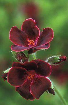 Burgundy Geranium Amazing Flowers, Beautiful Pictures Of Flowers, All Flowers, Exotic Flowers, My Flower, Beautiful Flowers, Green Flowers, Spring Flowers, Simply Beautiful