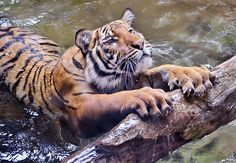 """Connor, a Malaysian Tiger, stretches before getting out of the water @San Diego Zoo - """"Cat Scratch Fever"""" by Stinkersmell, via Flickr"""