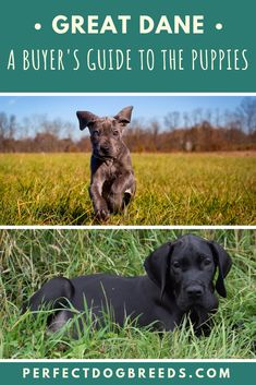 The Great Dane is well known as one of the largest dog breeds. As you might imagine, this large dog comes with a large price tag too. Dane Puppies, Pet Dogs, Pets, Great Dane Price, Great Dane Breeders, Great Dane Puppy, Most Popular Dog Breeds, Large Dog Breeds, Largest Dog