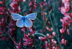 The Common Blue (Polyommatus icarus) is a small butterfly in the family Lycaenidae