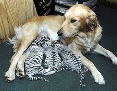 Dog + Tiger Cubs -- You can always count on a mother to step up to the plate to save cast off babies. SO tender and sweet... Interspecies love! ♥Ⓛⓞⓥⓔ♥