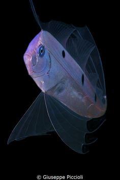 A ribbon fish