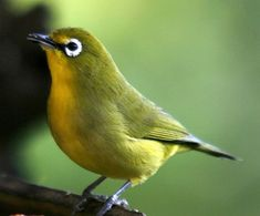 The Silvereye - Zosterops lateralis, is a small bird with a conspicuous ring of white feathers around the eye, known as white-eyes. Cute Small Animals, Small Birds, Colorful Birds, Green Birds, Pretty Birds, Beautiful Birds, Animals Beautiful, Common Garden Birds, South African Birds
