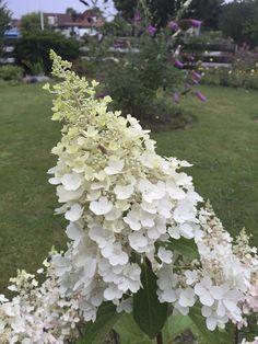 Sunnys Haus: Hortensien Plants, Climber Plants, Limelight Hydrangea, House, Flora, Plant, Planting