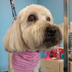 Lanie #wagsmytail #doggroomer #tucsondoggrooming A well groomed dog is a well loved dog! Call us today to schedule your dog grooming appointment 520-744-7040