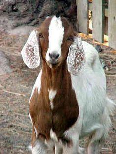 1000+ images about Boer Goats! on Pinterest | Boer goats ... - photo#28