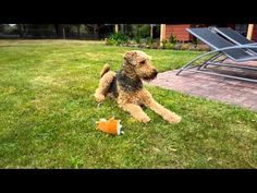 Plato, the Airedale terrier dog, gets into an argument with himself when he barks at a Chippy the Chattermunk toy that records and repeats back everything it hears.