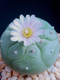 Precioso peyote florecido