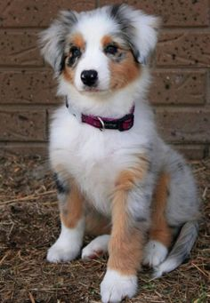 Meeko the Australian Shepherd. Meeko the Australian Shepherd. Baby Animals, Funny Animals, Cute Animals, Funny Dogs, Silly Dogs, Cute Dog Pictures, Animal Pictures, Dog Photos, Beautiful Dogs