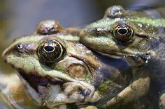 Les Reptiles, Amphibians, Habitat Destruction, In Vitro Fertilization, Systems Biology, Focus Photography, Green Frog, Wipe Out, Fertility