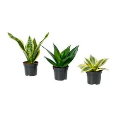 SANSEVIERIA Potted plant IKEA Decorate your home with plants combined with a plant pot to suit your style.