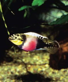 """Pelvicachromis subocellatus """"Matadi"""" - west african peaceful (?) dwarf cichlid related to kribensis, shown is female in breeding dress"""