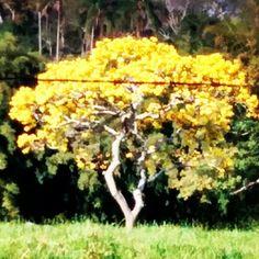 #ATOCondominios  no caminho de volta do condomínio Morumbi olha só o que avistei na paisagem: a majestade amarela do ype. Resistindo com sua beleza neste sol escaldante. As flores chegam até brilhar de tão amarelo que ficou com os raios de sol! Lindo! Valeu a parada!