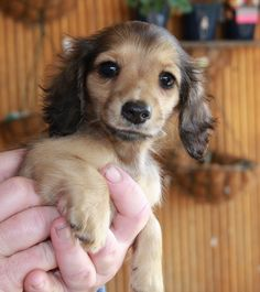 How adorable.  Looks like a mix between a Cocker Spaniel and a Chihuahua.