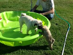 Olive trying to join Wilbur's exclusive invite-only pool party. Looks like she's not getting in this time....