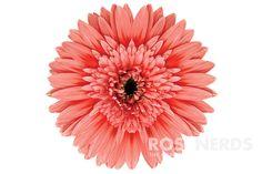 RoseNerds.com Wholesale Coral Color Enhanced Gerbera Daisies   Sorbet - Floral Design Trend 2016