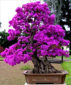 Bonsai trees are awesome :-) Get it or gift it.