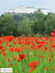 Salzburg Austria, Vineyard, Outdoor, Photo Illustration, Romanesque, Low Maintenance Garden, Poppies, Outdoors, Outdoor Games
