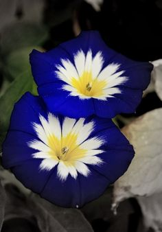 Blue Ensign Morning Glory---Delightful mounding plants covered with cheery blue flowers from midsummer until frost.  Ideal in sunny borders, hanging baskets and patio planters.  Very easy to grow.Needs a sunny warm area for best growth. For early blossoms, start indoors eight to ten weeks before last frost date. Transplant after soil has completely warmed in late spring. Keep soil evenly moist while plants are young.