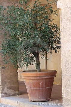 Just about decided I want a potted olive tree in the courtyard. LOVE the big olive tree we planted in the backyard, so I think I would also love a smaller, container version in the courtyard.