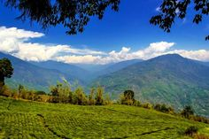 Temi Tea Garden, Sikkim   Recommended by Baichung Bhutia | Tripoto - Share and Discover Trips